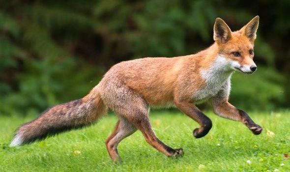 fox-008